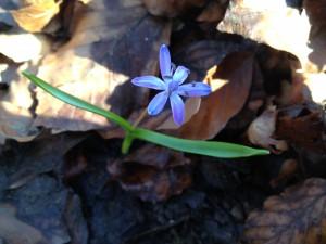 Photo de Scilla bifolia prise le 23 février 2014 dans la forêt de la Serine près de Gland