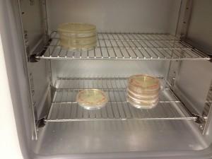 Les boîtes de Pétri sont incubées du jour au lendemain à 37°C dans le thermostat.